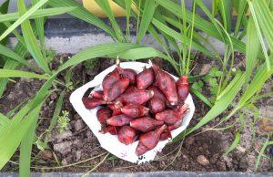 Bawang Dayak Asli Kalimantan